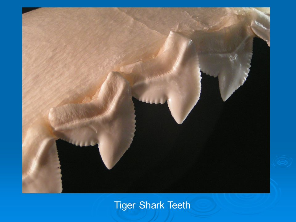 Tiger Shark Teeth