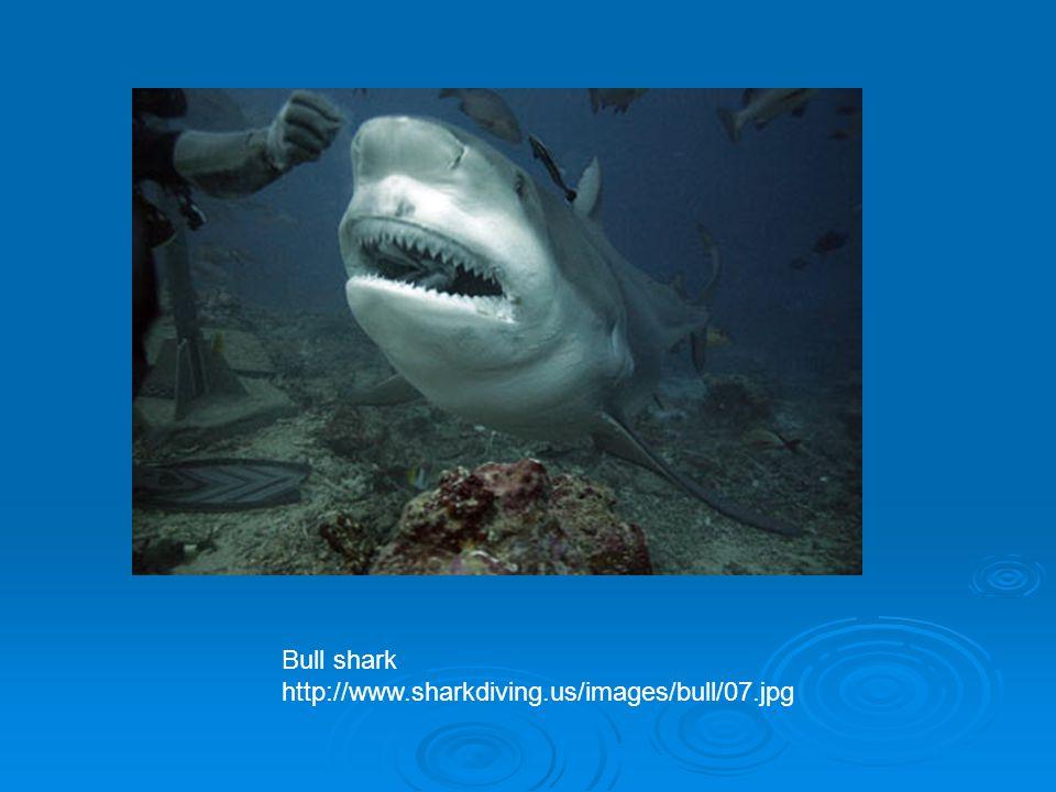 Bull shark http://www.sharkdiving.us/images/bull/07.jpg