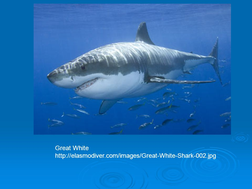Great White http://elasmodiver.com/images/Great-White-Shark-002.jpg