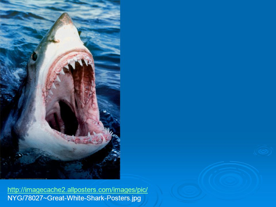 http://imagecache2.allposters.com/images/pic/ NYG/78027~Great-White-Shark-Posters.jpg