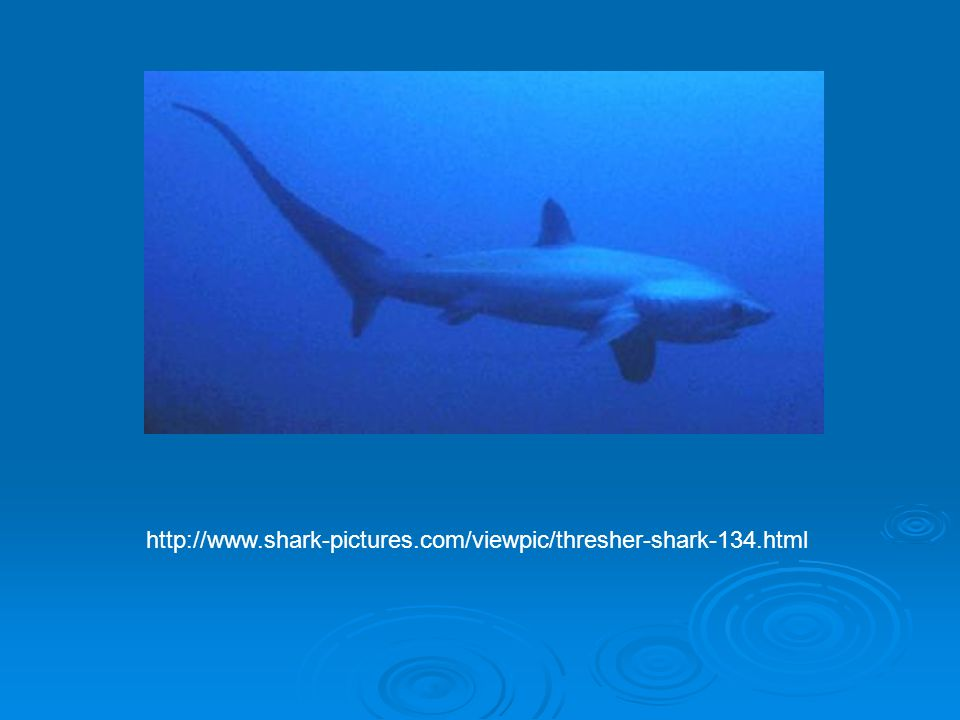 http://www.shark-pictures.com/viewpic/thresher-shark-134.html
