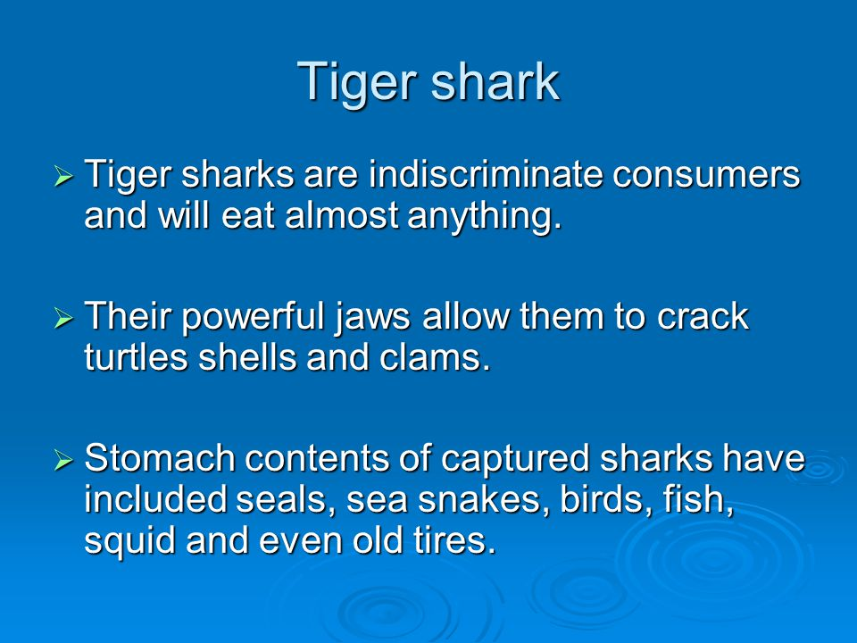 Tiger shark Tiger sharks are indiscriminate consumers and will eat almost anything.