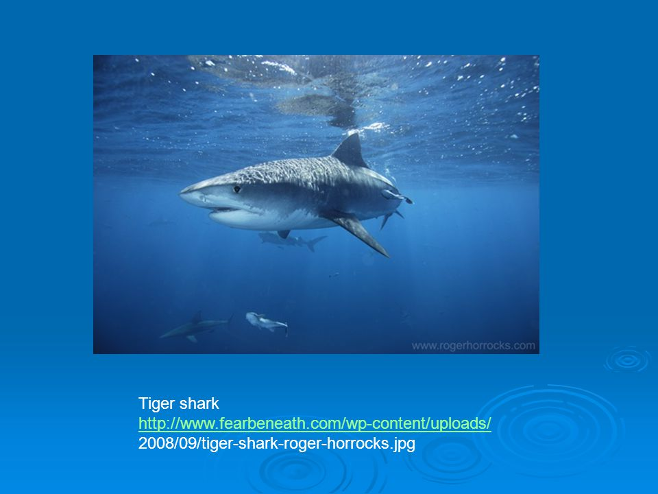 Tiger shark http://www.fearbeneath.com/wp-content/uploads/ 2008/09/tiger-shark-roger-horrocks.jpg