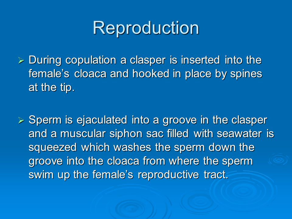 Reproduction During copulation a clasper is inserted into the female's cloaca and hooked in place by spines at the tip.