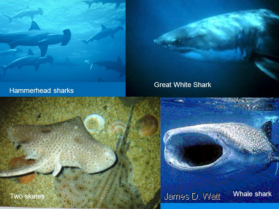Great White Shark Hammerhead sharks Whale shark Two skates