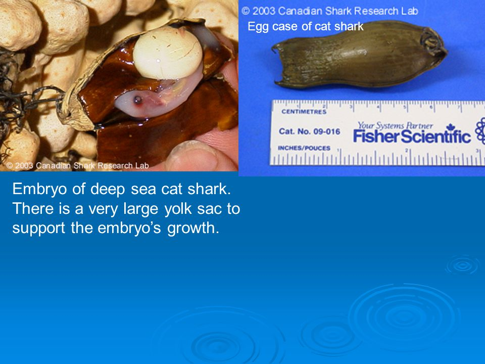 Embryo of deep sea cat shark. There is a very large yolk sac to