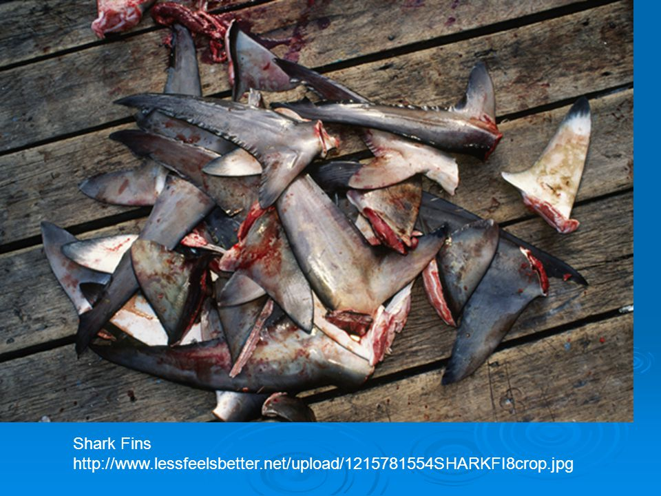 Shark Fins http://www.lessfeelsbetter.net/upload/1215781554SHARKFI8crop.jpg