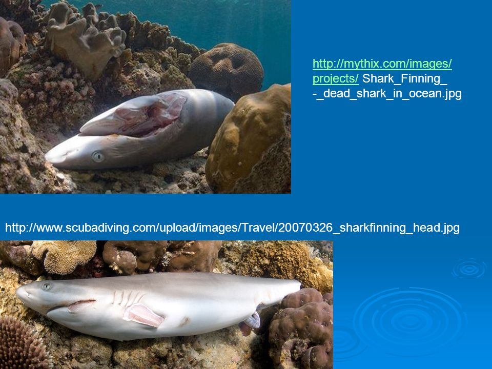 http://mythix.com/images/ projects/ Shark_Finning_. -_dead_shark_in_ocean.jpg.