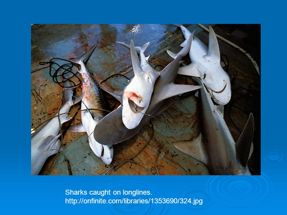 Sharks caught on longlines.