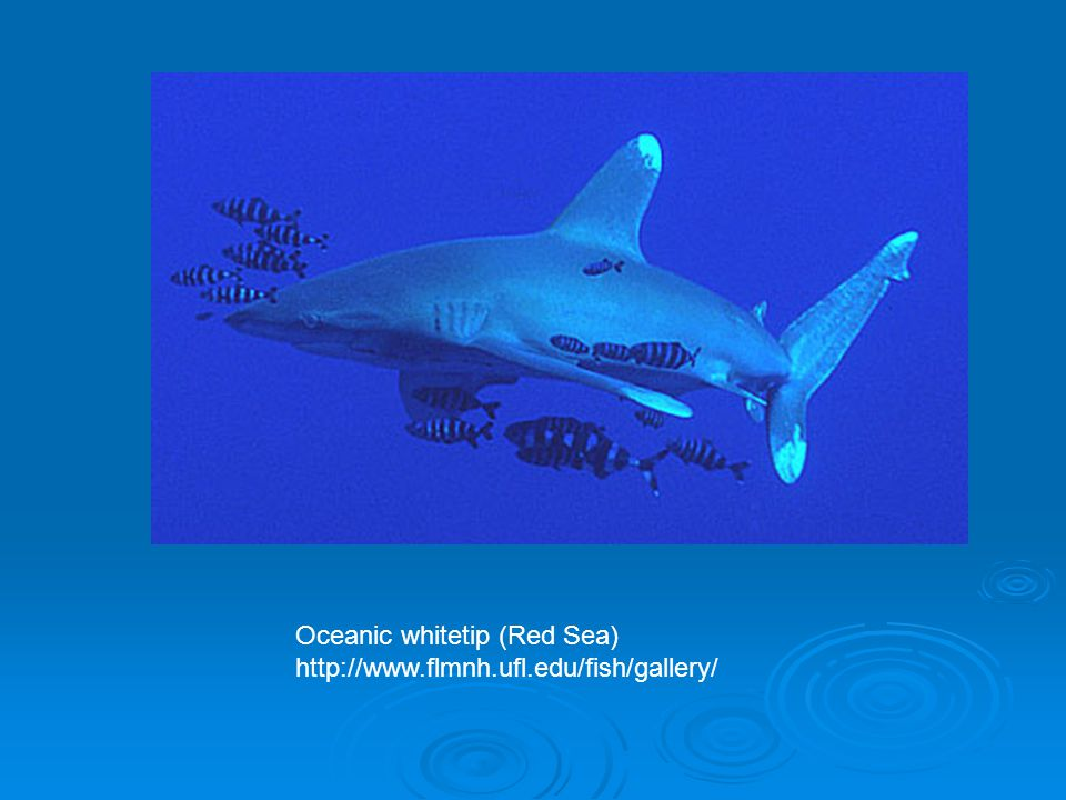 Oceanic whitetip (Red Sea)
