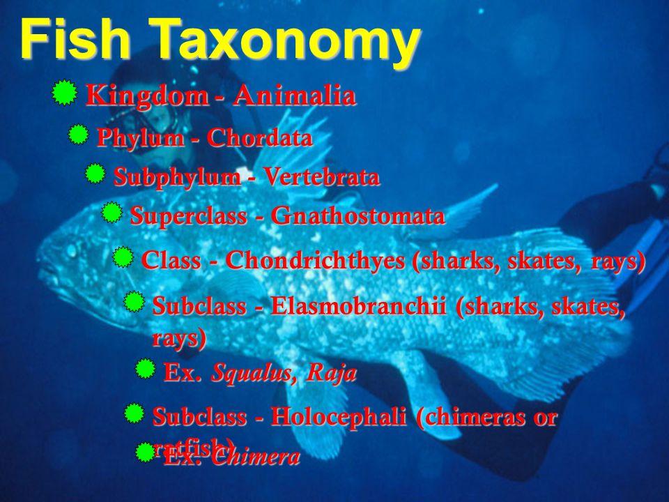 Fish Taxonomy Kingdom - Animalia Phylum - Chordata