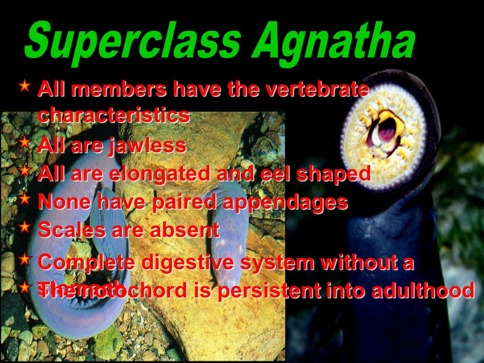 Superclass Agnatha All members have the vertebrate characteristics
