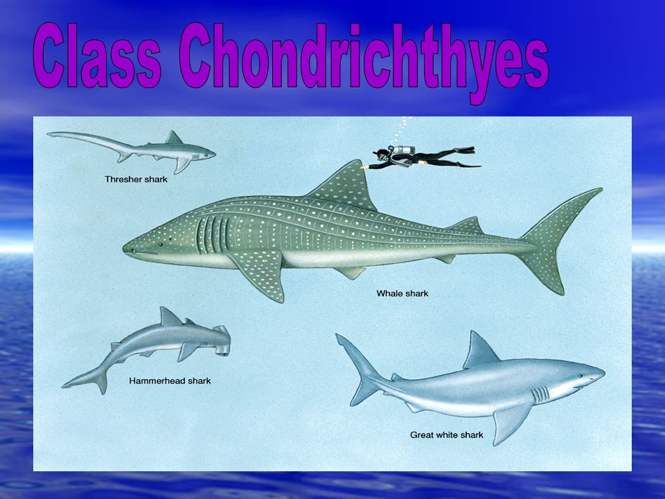 Class Chondrichthyes