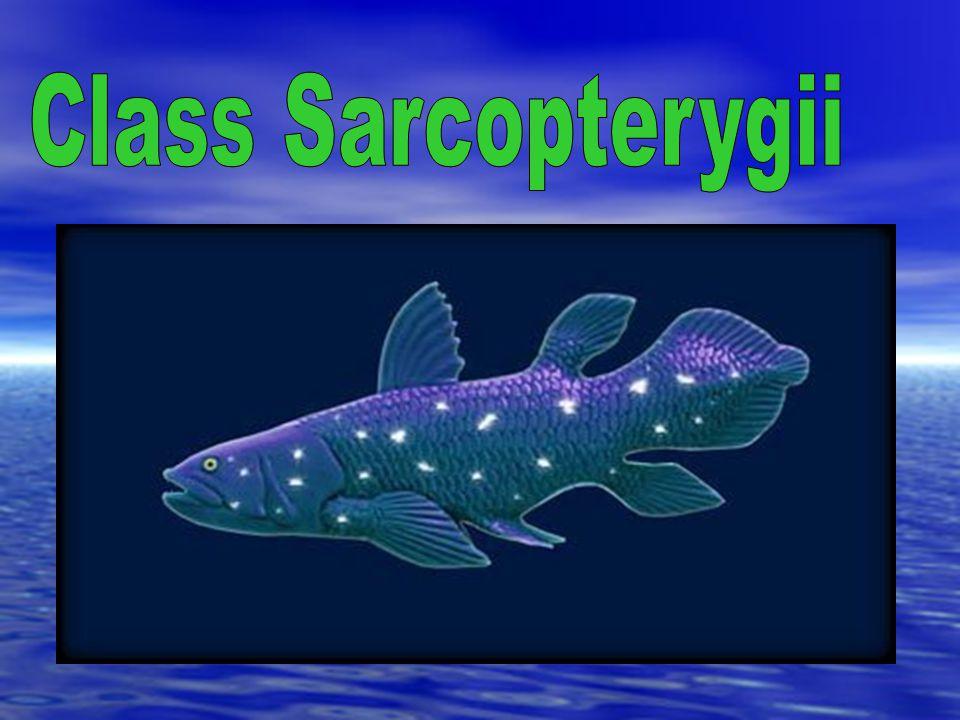 Class Sarcopterygii
