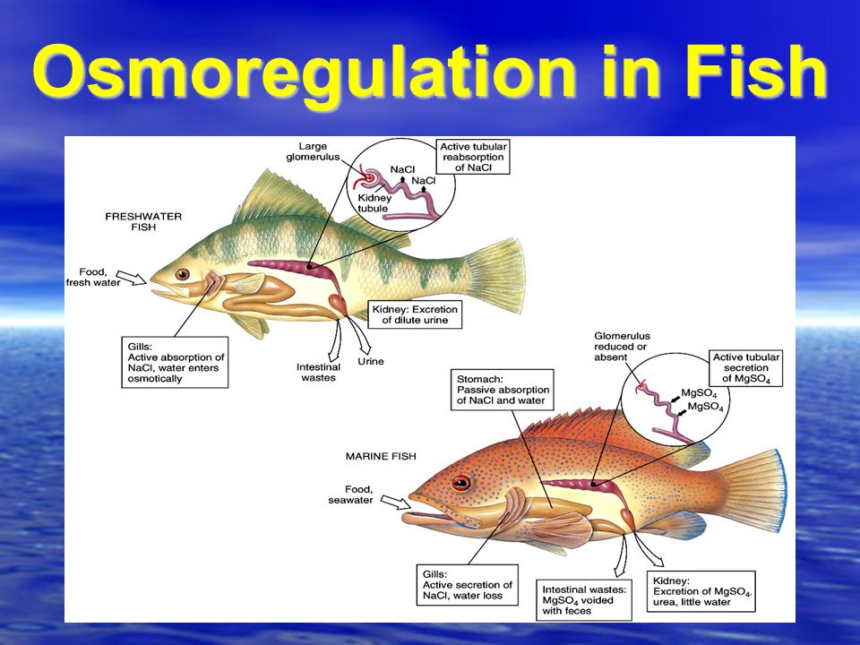Osmoregulation fish