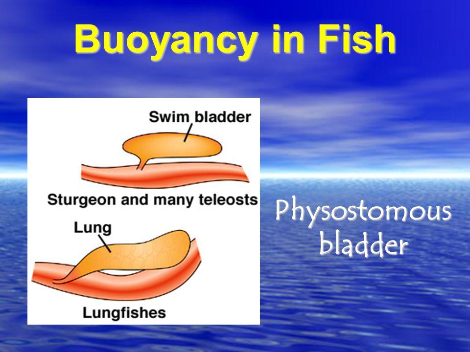 Buoyancy in Fish Physostomous bladder