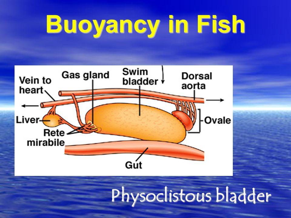 Physoclistous bladder