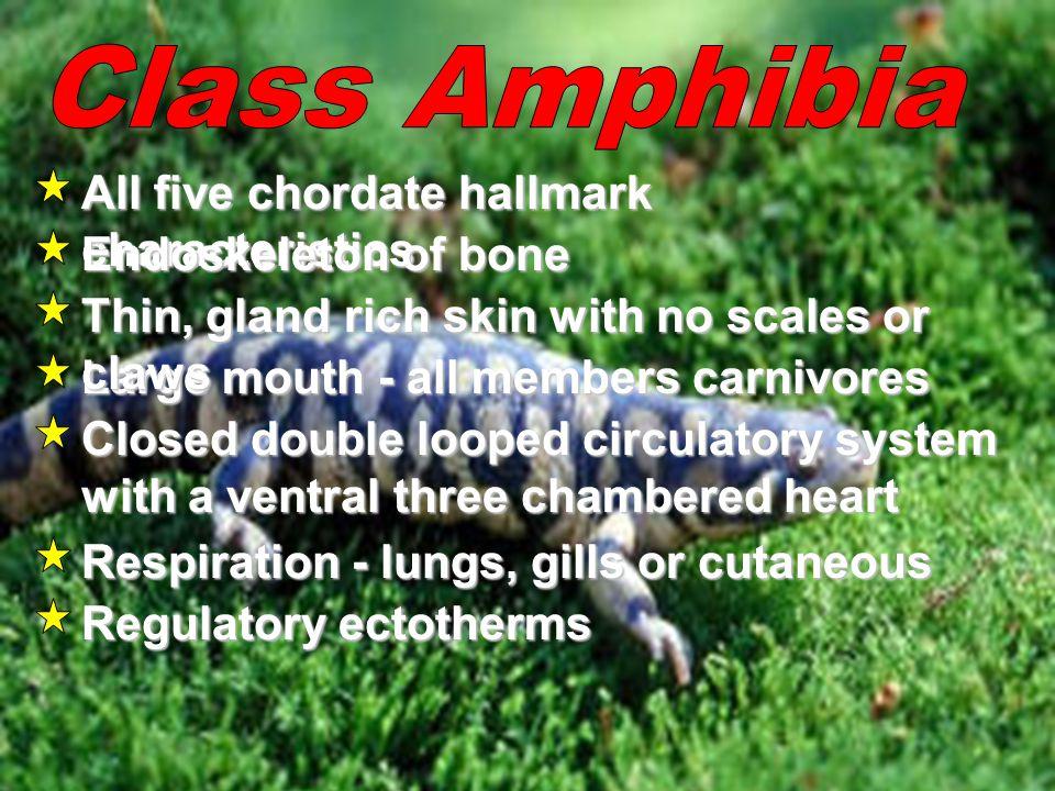 Class Amphibia All five chordate hallmark characteristics