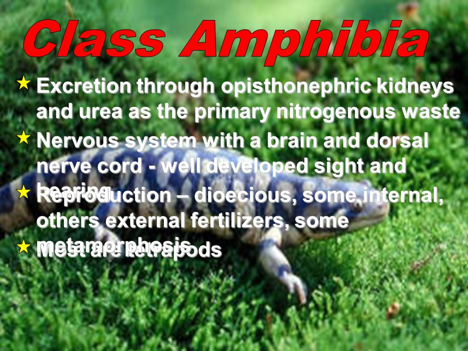 Class Amphibia Excretion through opisthonephric kidneys and urea as the primary nitrogenous waste.
