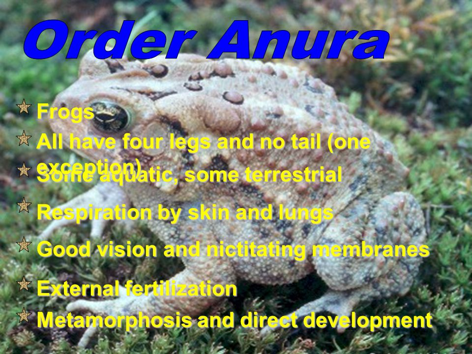 Order Anura Frogs All have four legs and no tail (one exception)