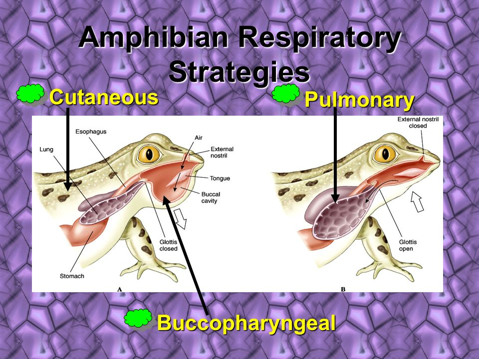 Amphibian Respiratory Strategies