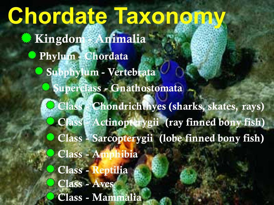 Chordate Taxonomy Kingdom - Animalia Phylum - Chordata