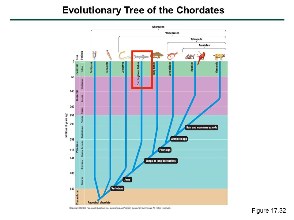 Evolutionary Tree of the Chordates