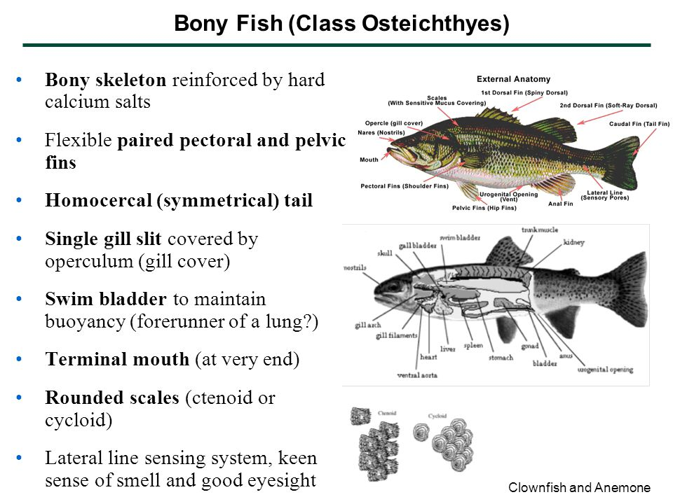 Bony Fish (Class Osteichthyes)