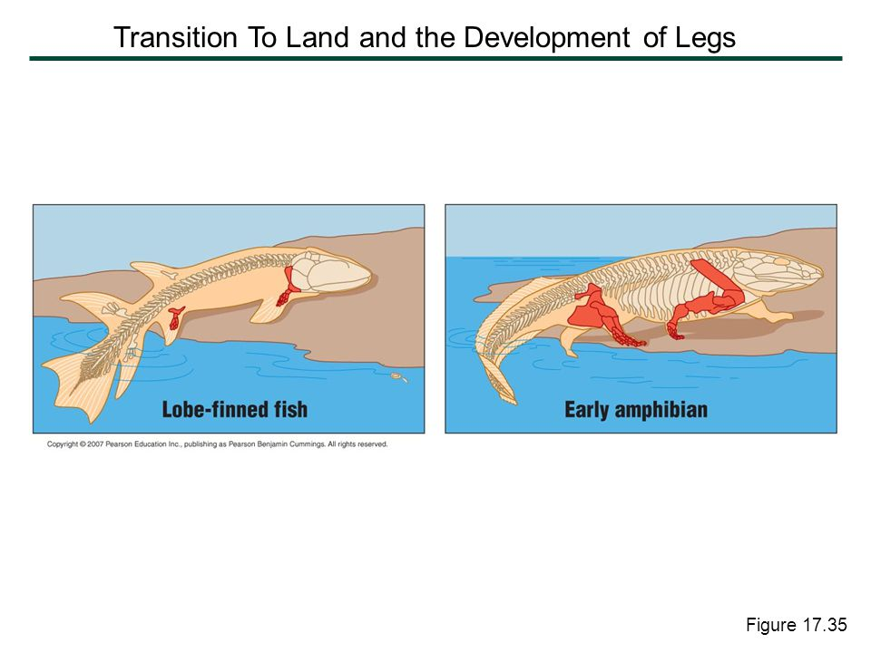 Transition To Land and the Development of Legs