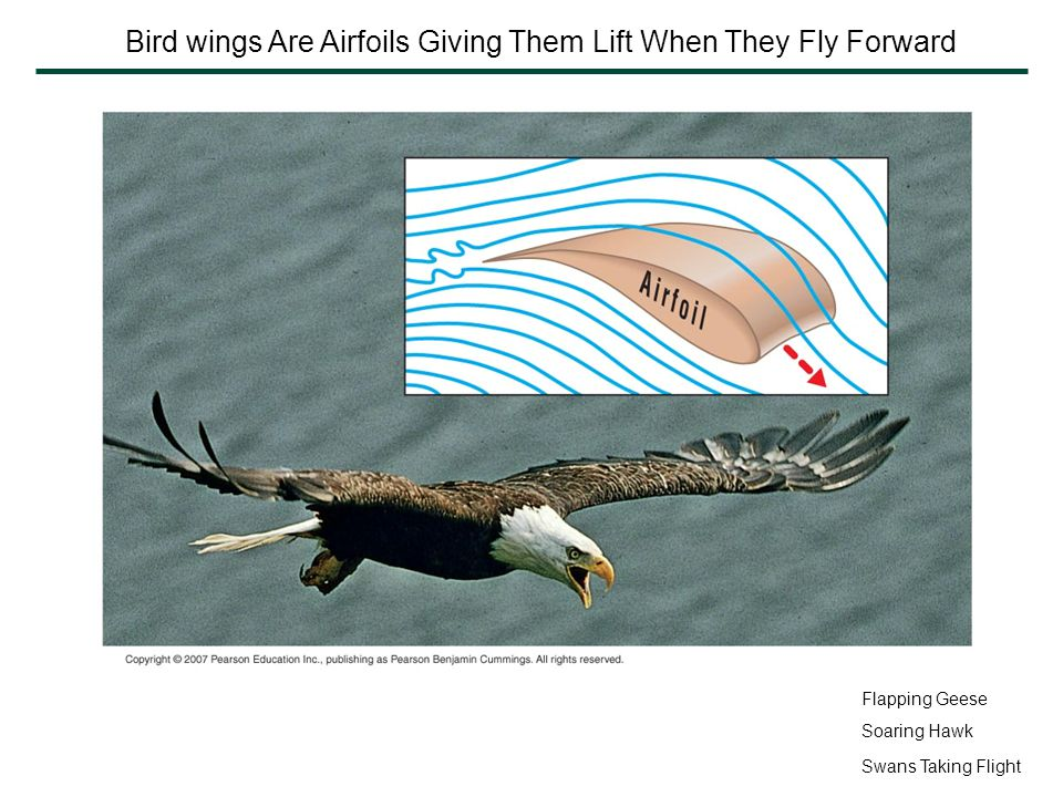 Bird wings Are Airfoils Giving Them Lift When They Fly Forward