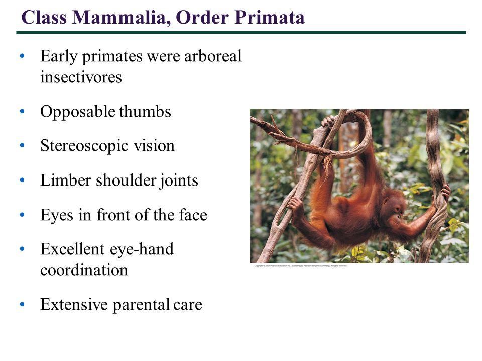 Class Mammalia, Order Primata