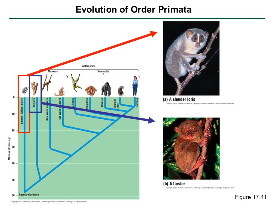 Evolution of Order Primata