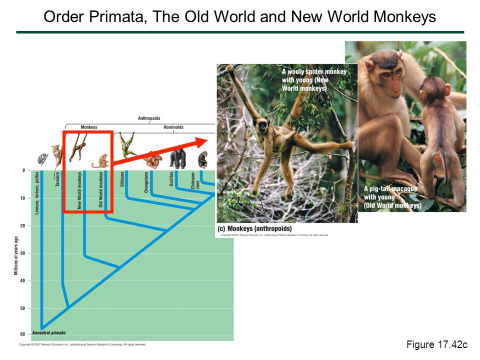 Order Primata, The Old World and New World Monkeys