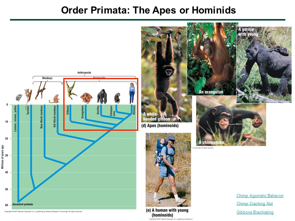 Order Primata: The Apes or Hominids