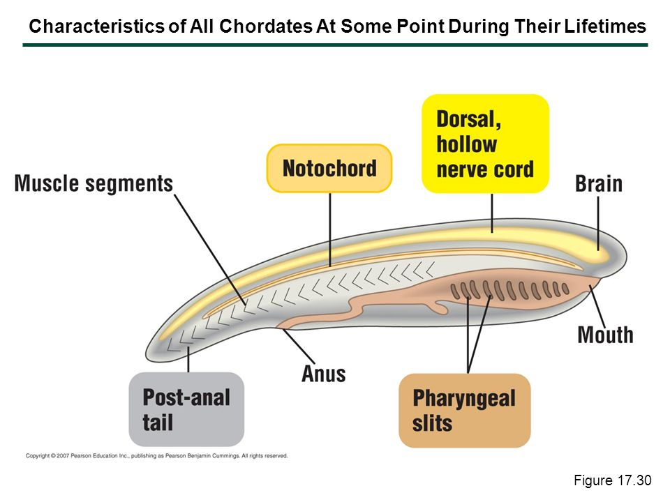 Characteristics of All Chordates At Some Point During Their Lifetimes