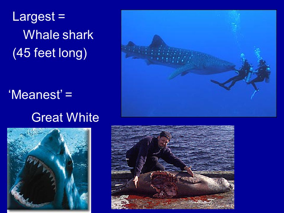 Largest = Whale shark (45 feet long) 'Meanest' = Great White
