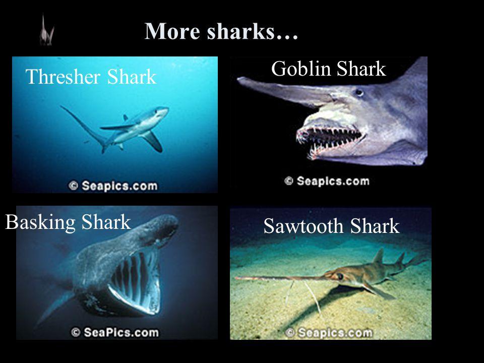 More sharks… Goblin Shark Thresher Shark Basking Shark Sawtooth Shark