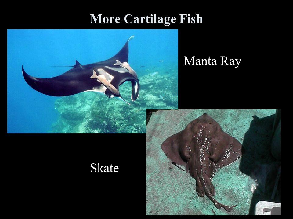 More Cartilage Fish Manta Ray Skate