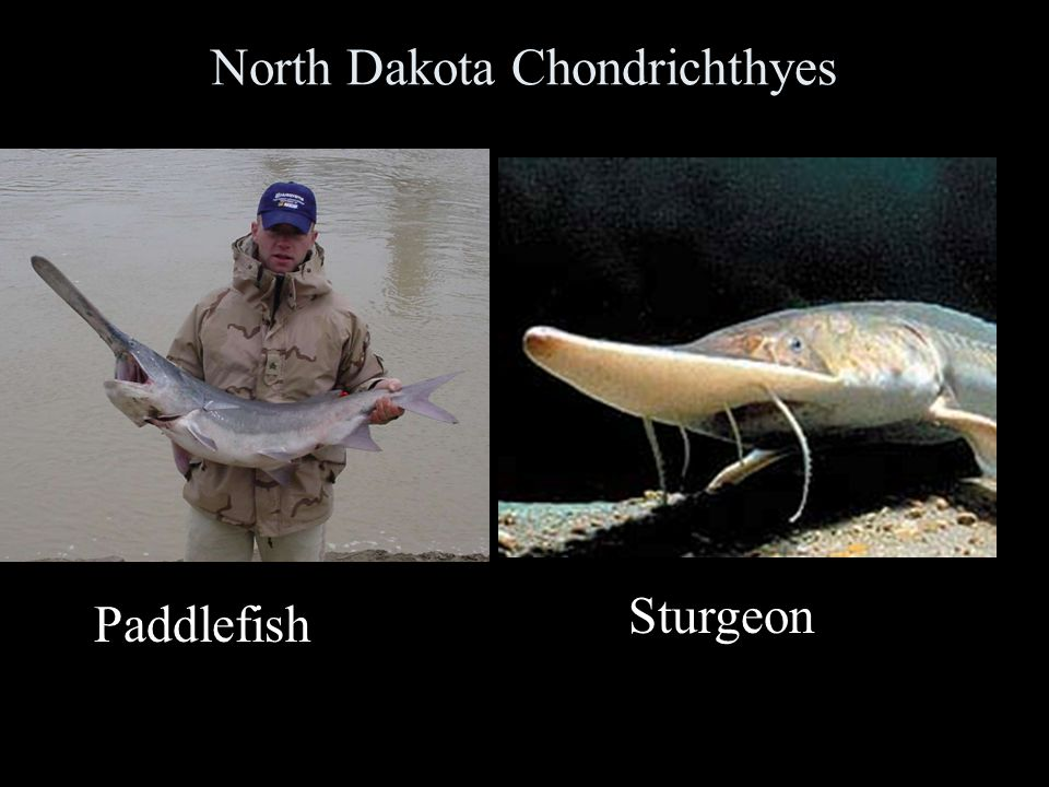North Dakota Chondrichthyes