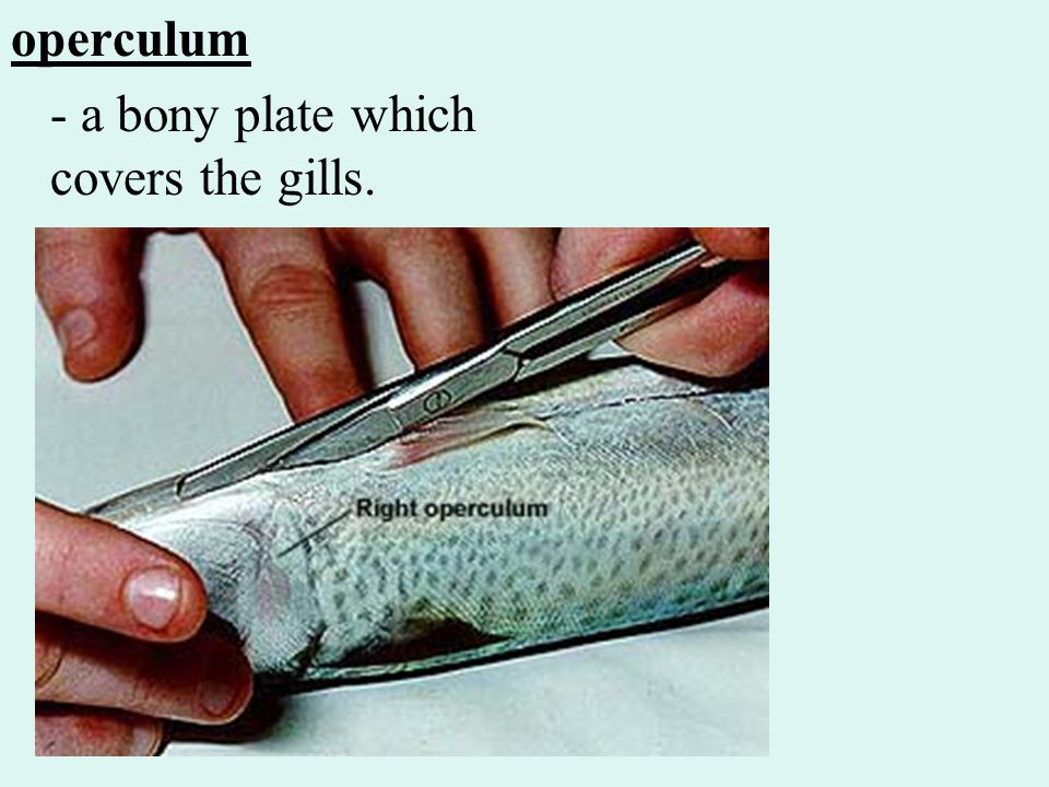 operculum - a bony plate which covers the gills.