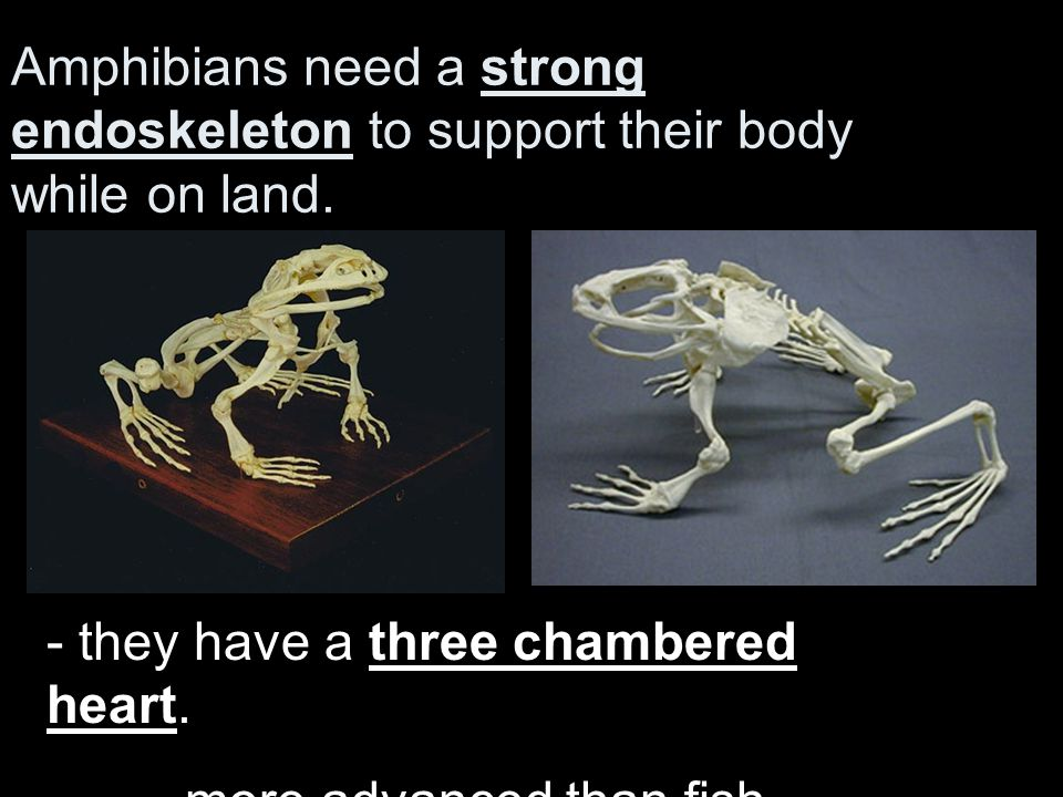 Amphibians need a strong endoskeleton to support their body while on land.