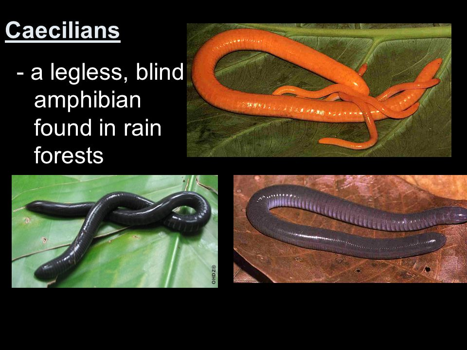 Caecilians - a legless, blind amphibian found in rain forests