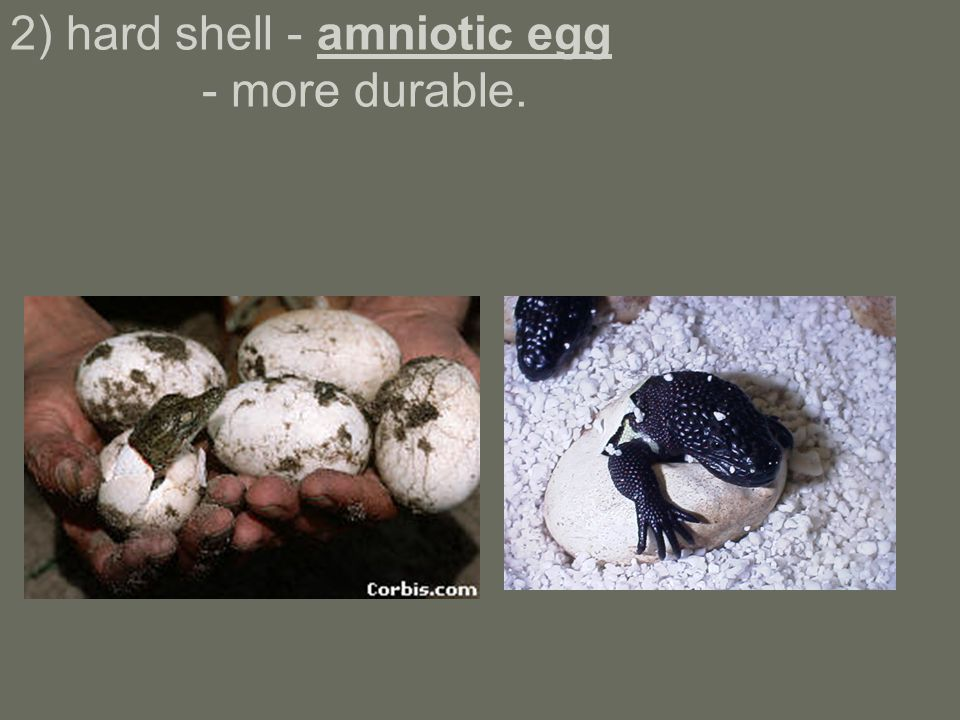 2) hard shell - amniotic egg - more durable.