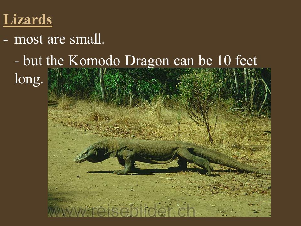 Lizards most are small. - but the Komodo Dragon can be 10 feet long.