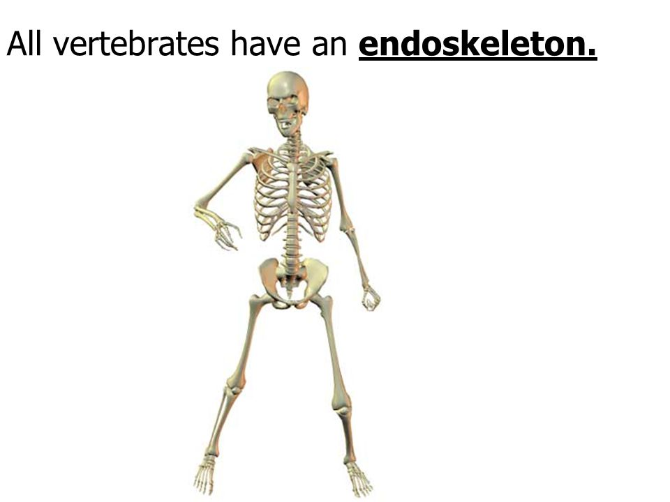 All vertebrates have an endoskeleton.