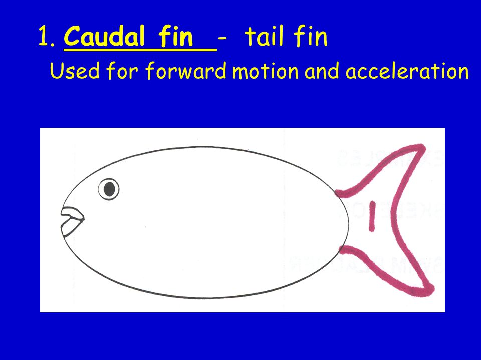 1. Caudal fin - tail fin Used for forward motion and acceleration