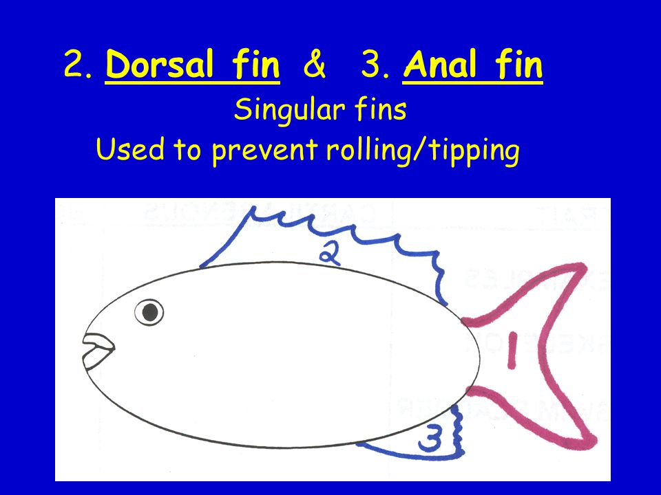 2. Dorsal fin & 3. Anal fin Singular fins