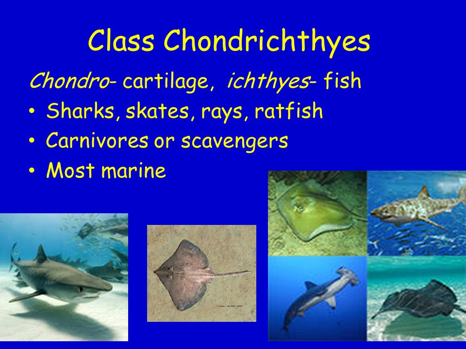 Class Chondrichthyes Chondro- cartilage, ichthyes- fish