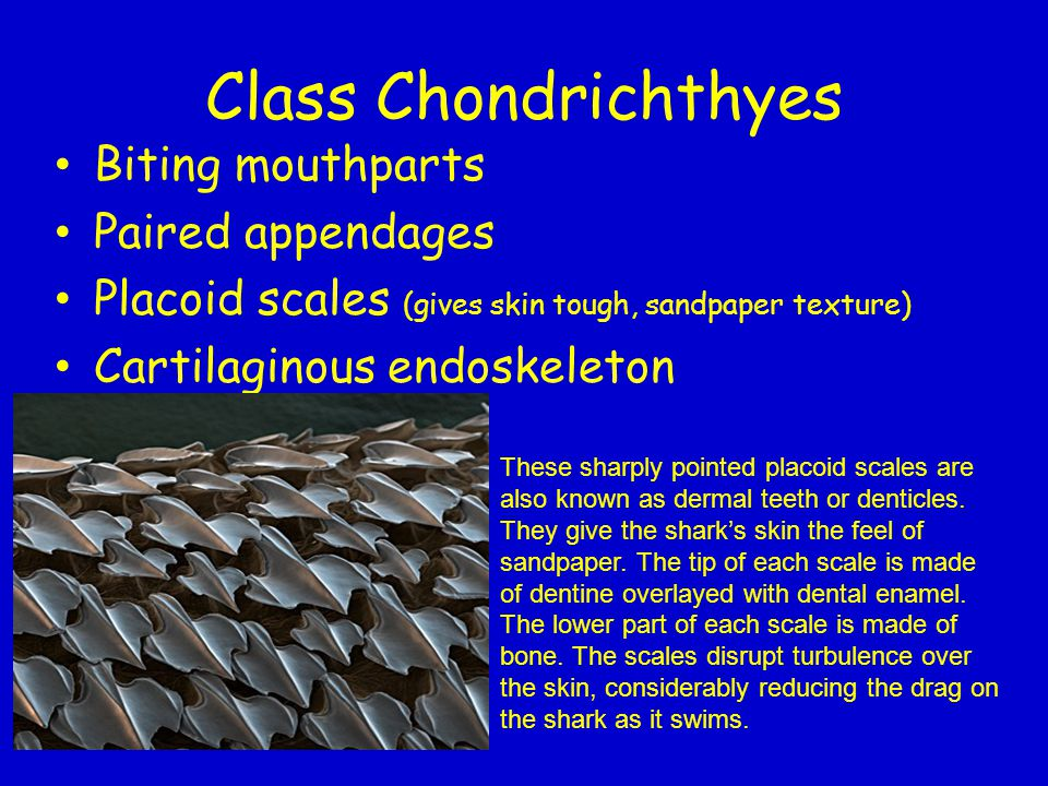 Class Chondrichthyes Biting mouthparts Paired appendages