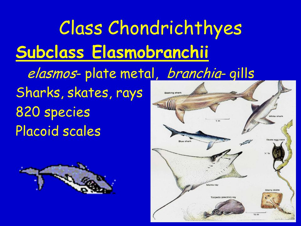 Class Chondrichthyes Subclass Elasmobranchii
